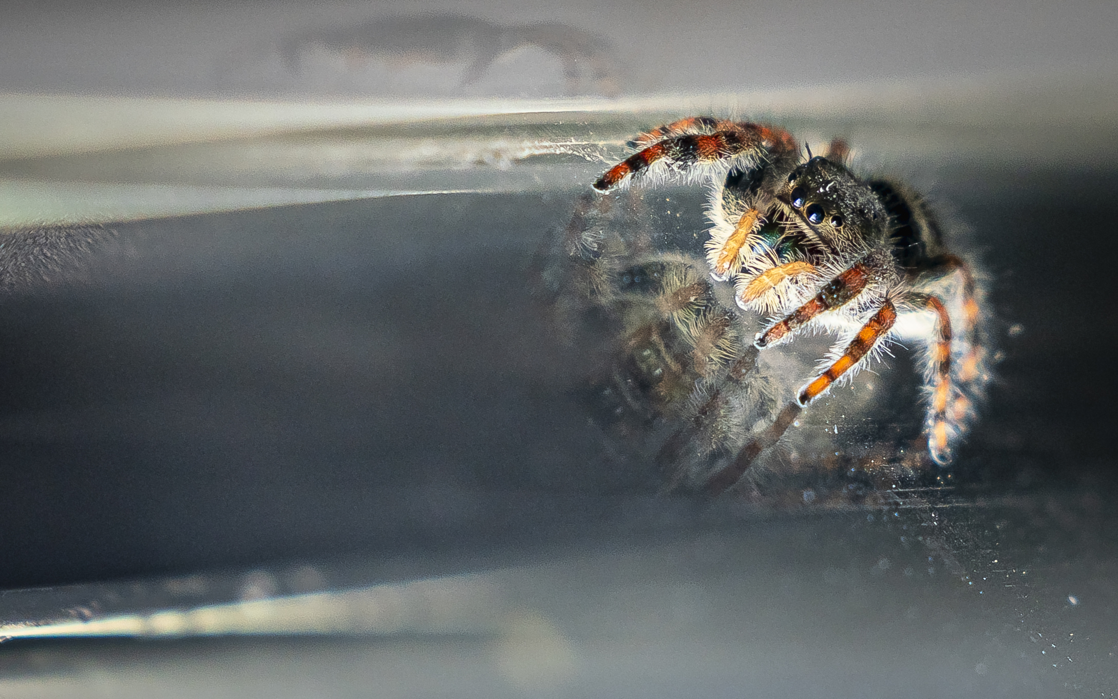 Jumping Spider on glass